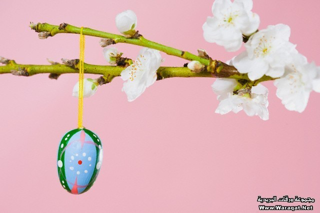 Easter egg hanging on a cherry blossom branch