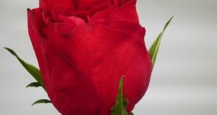 353ab7c62 خلفيات ورد للبنات , وردة الحب الصافي , دوق الجمال واستطعم